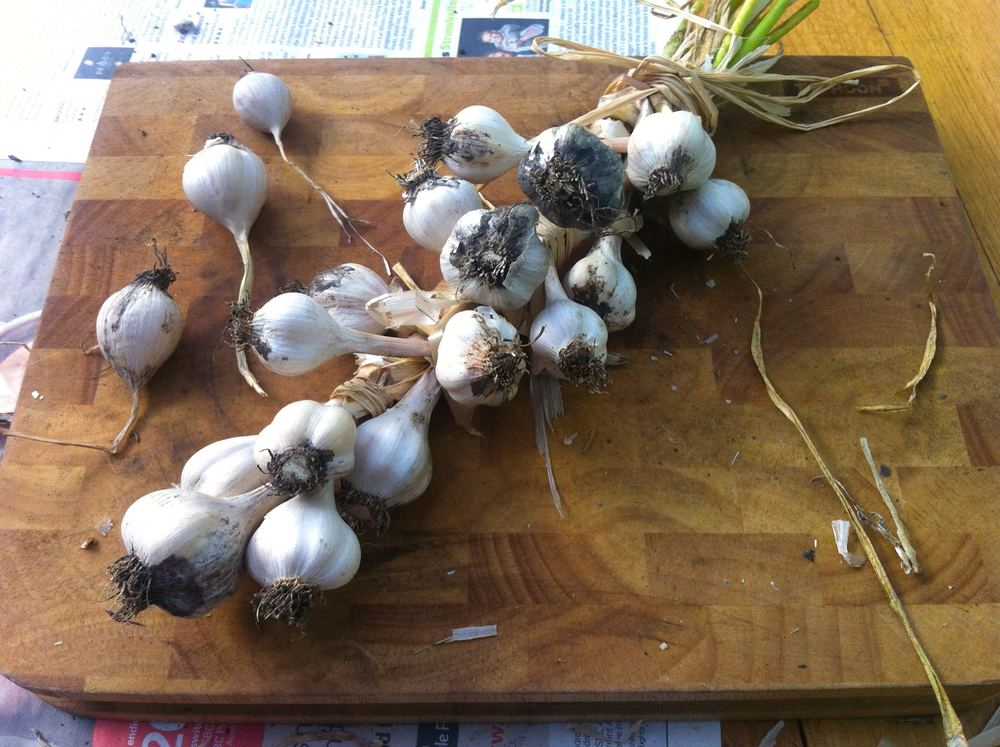 My garlic plaited, sort of!