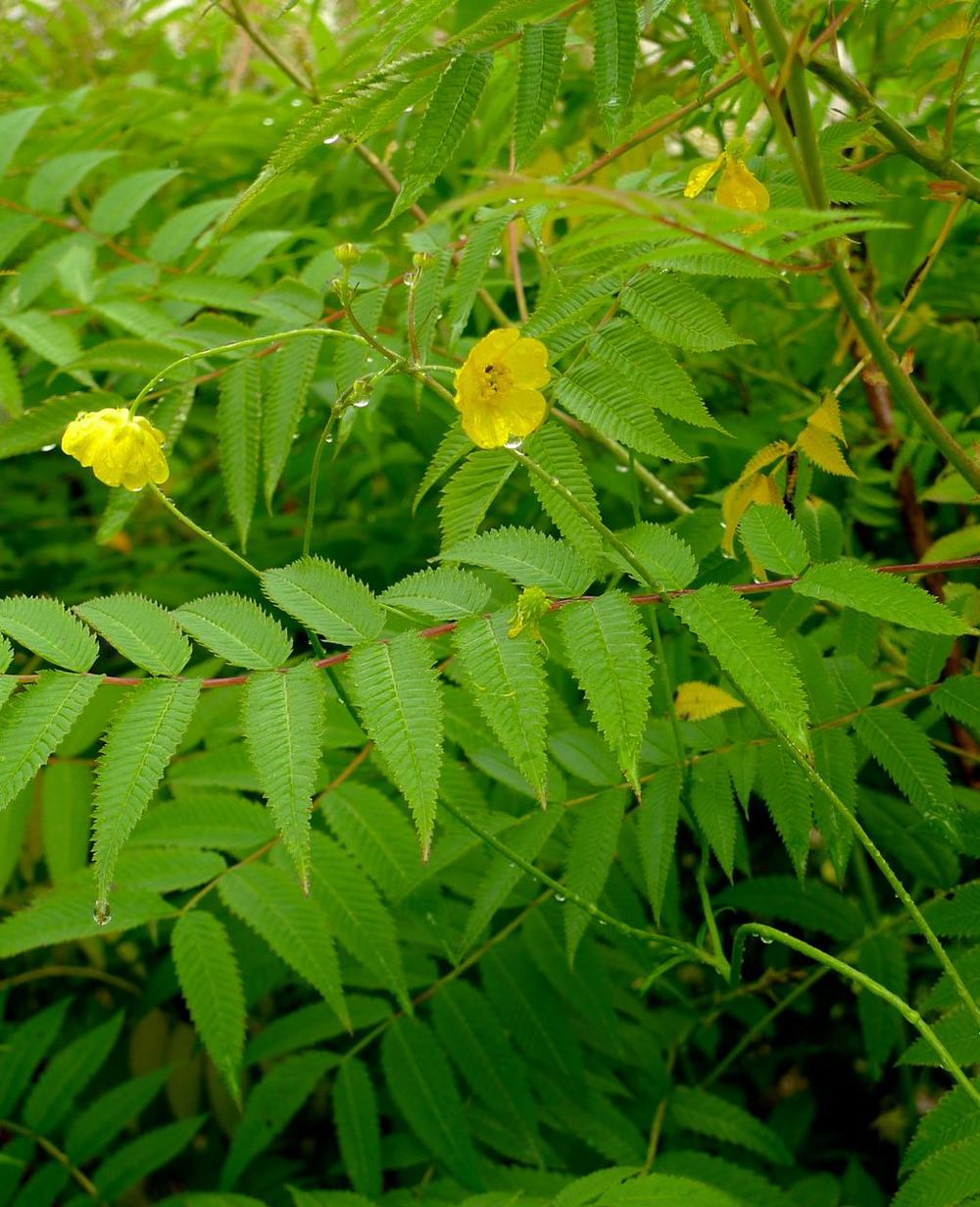 A delicate yellow flower with very zig-zaggy edged leaves