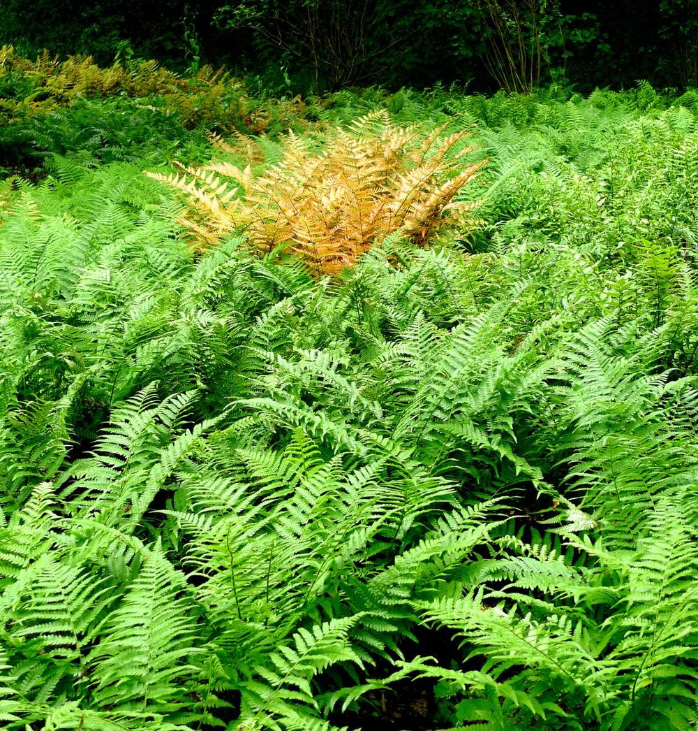 "A single rusty fern among a ""field"" of green"