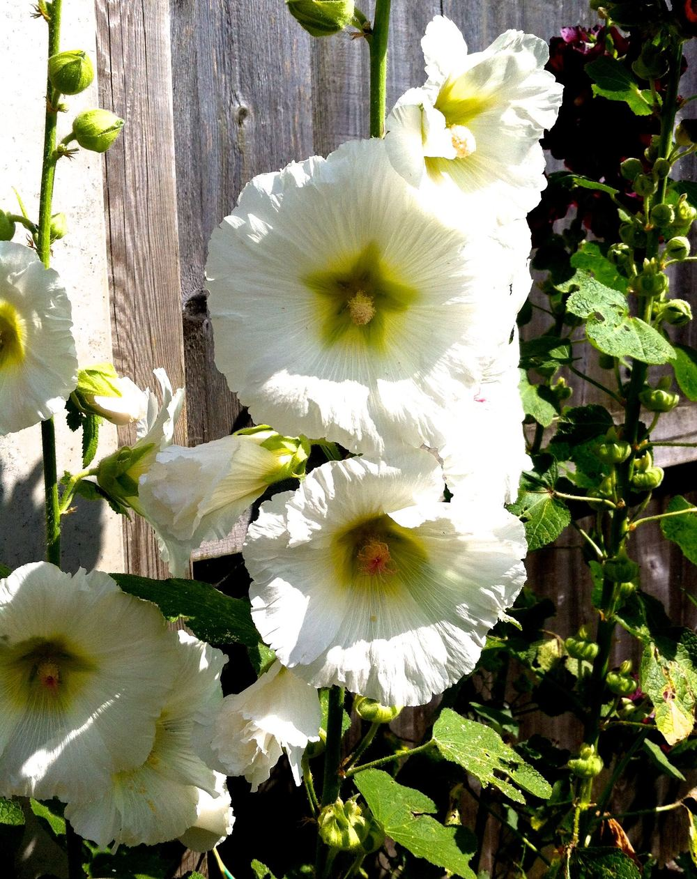 hollyhocks galore in dads garden right now - there's white ones
