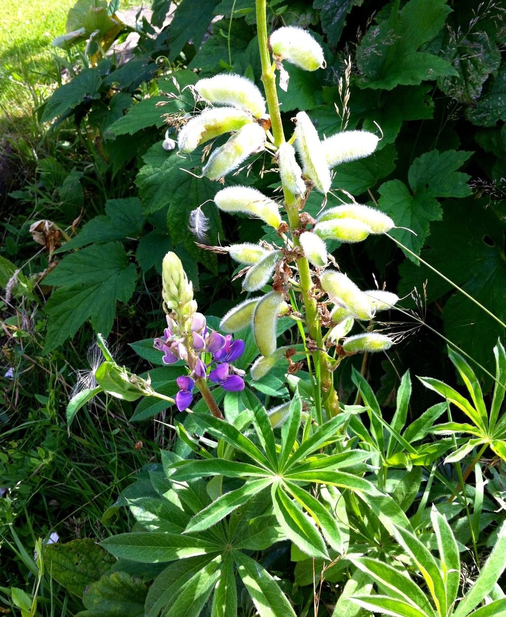 Lupins in flower and with furry seed pods