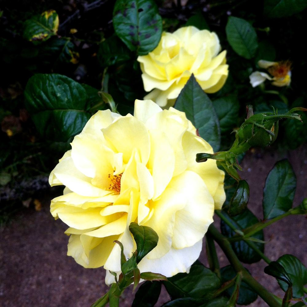 And beautiful yellow roses