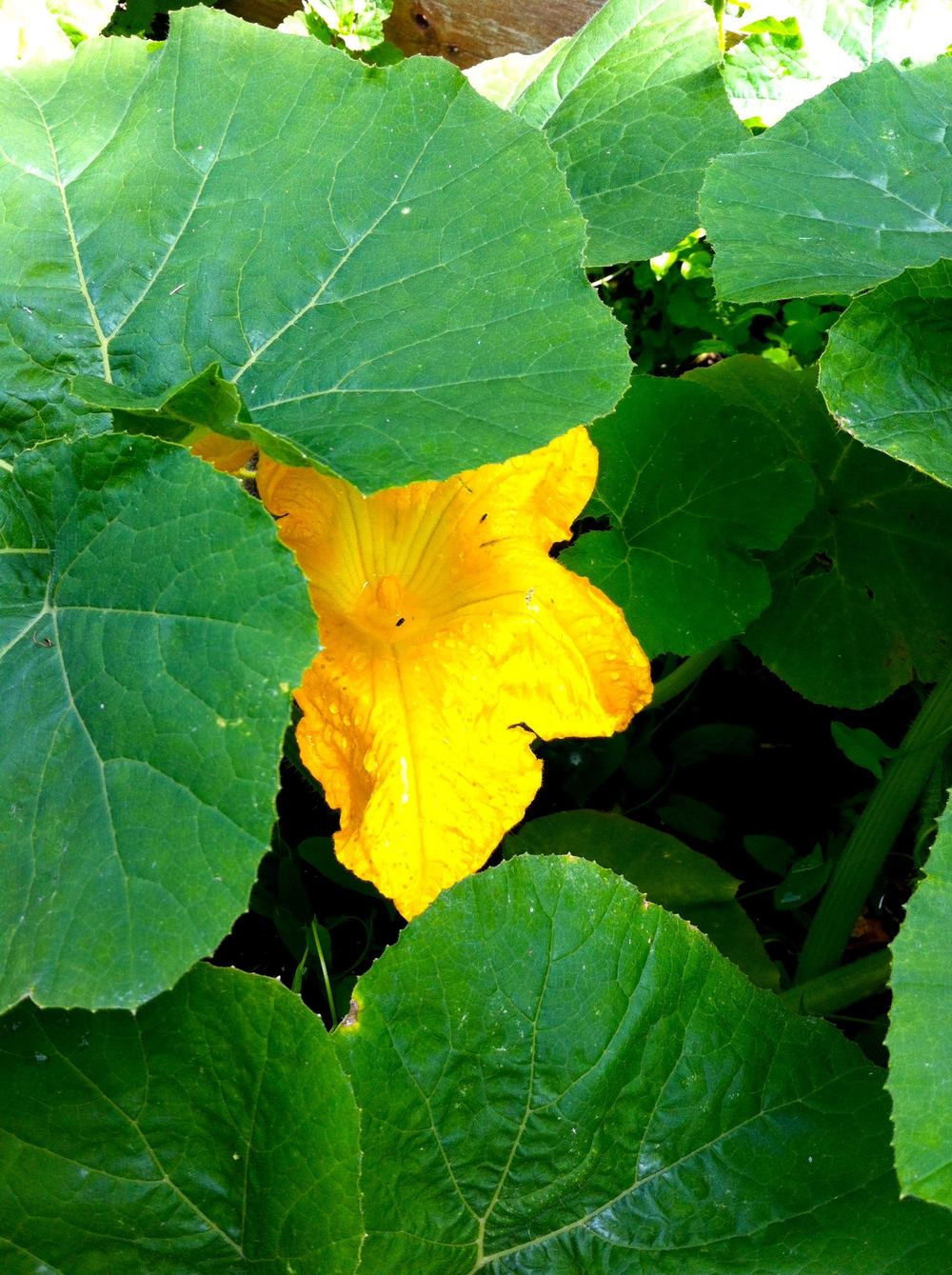 flowers on the squashes too