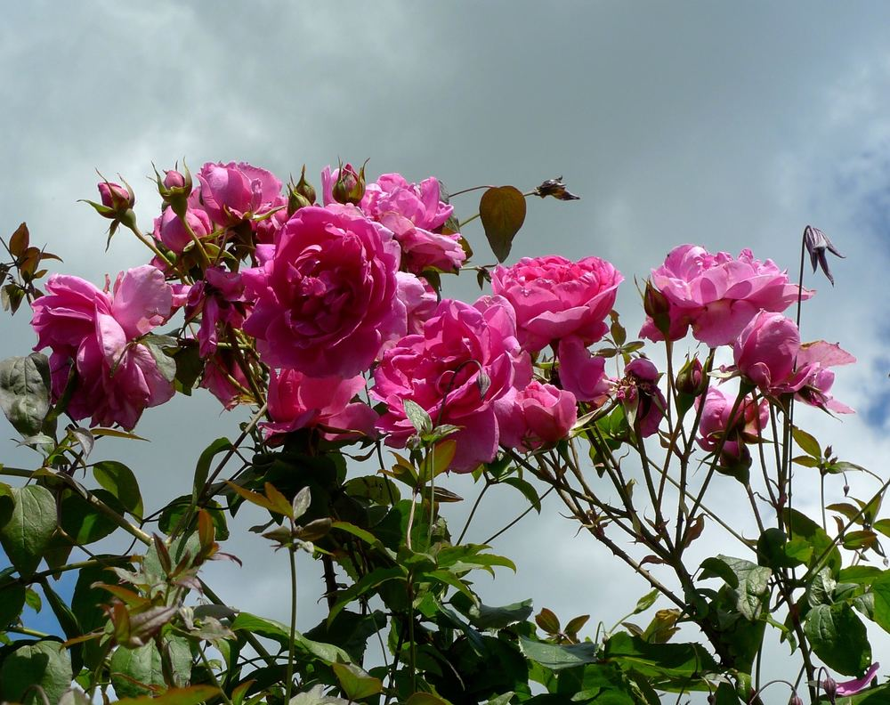 pink roses against the cloud, but where did that come from
