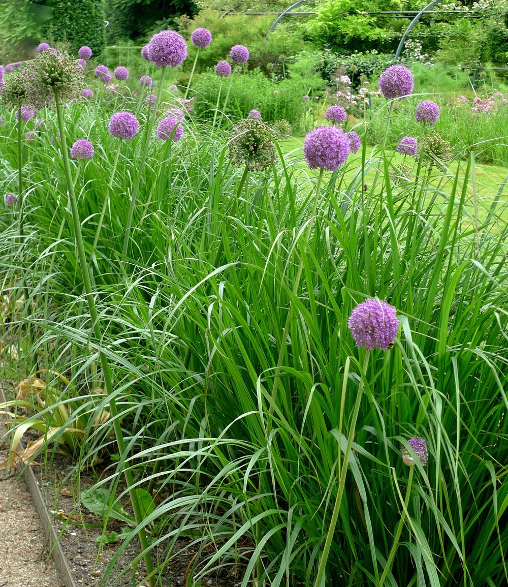 An allium border