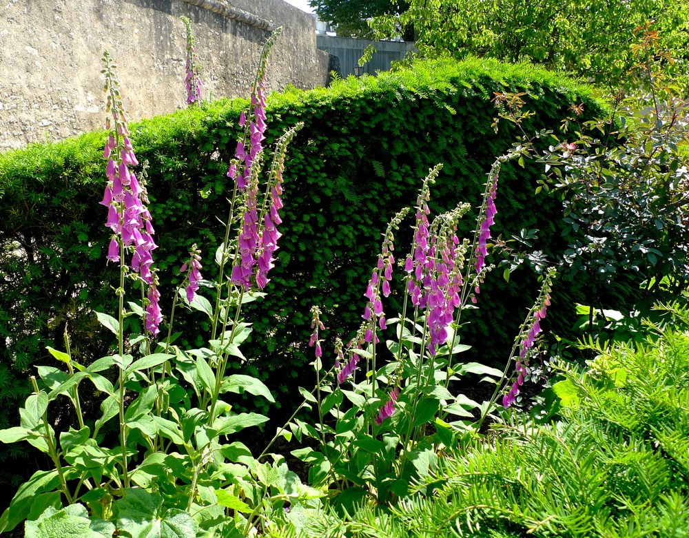 The foxgloves were a welcome sight