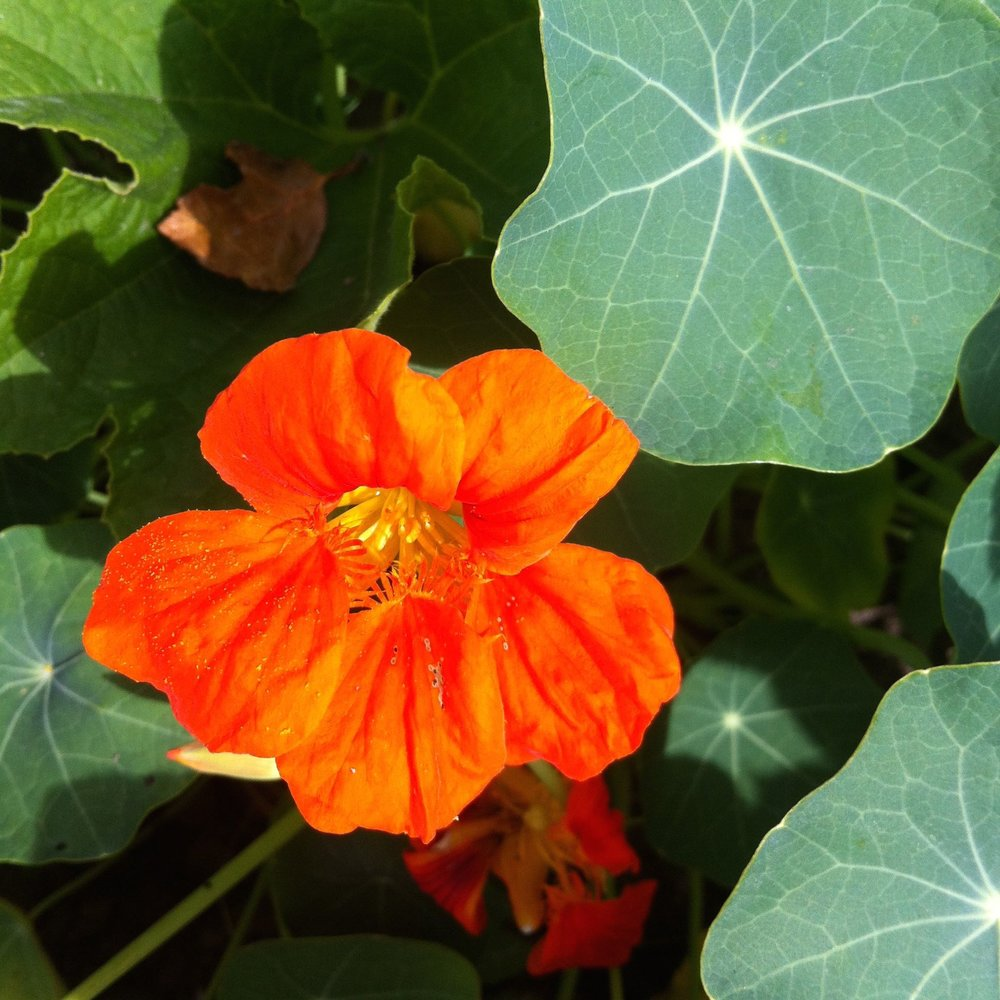 nasturtium amongst the squash