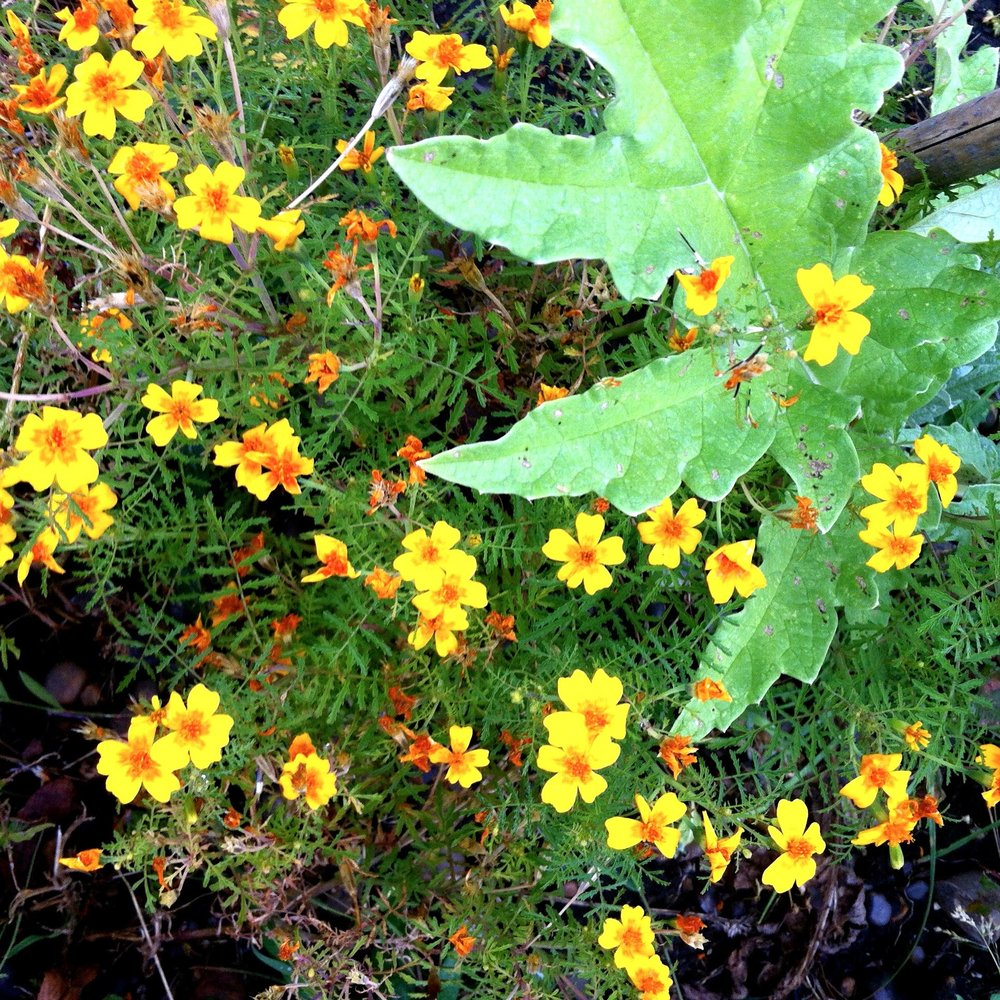 tagetes and artichoke