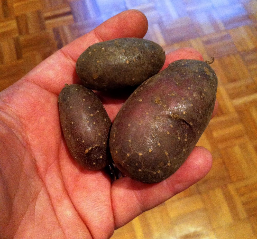 shetland black potatoes which look like stones