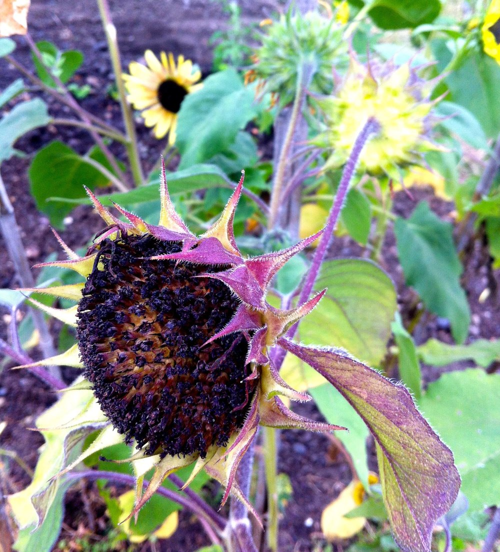 sunflower which is almost done