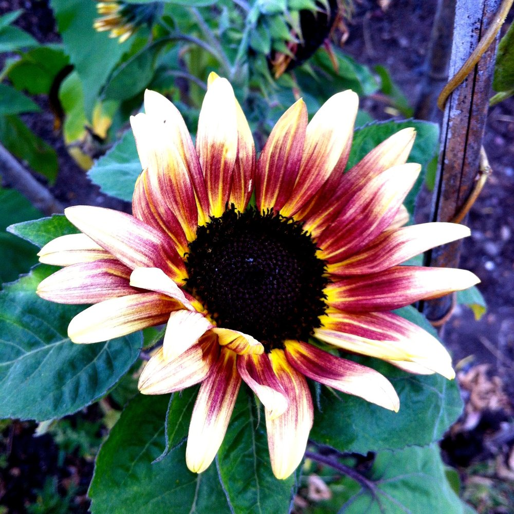 A blushing sunflower