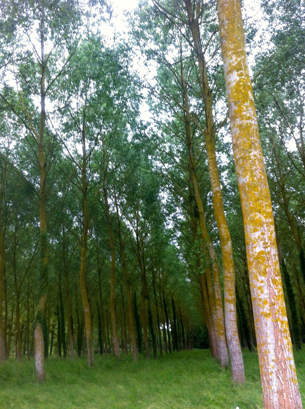 Trees  planted in rows, whichever way you looked