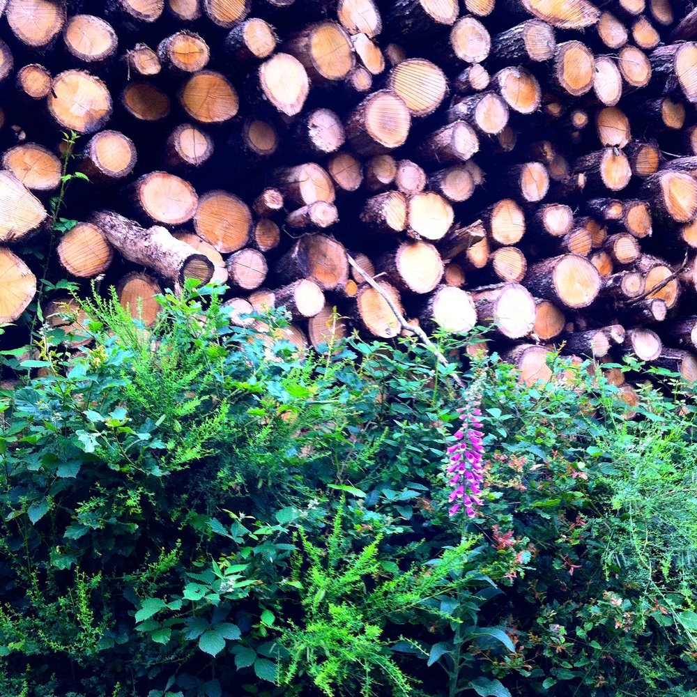A foxglove and logs