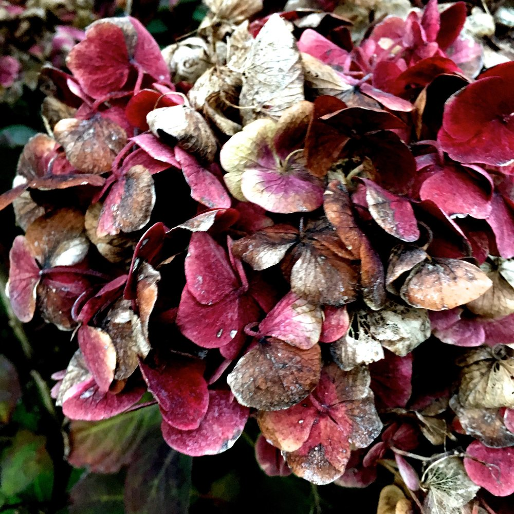 A hydrangea in greenwich park, decaying but still beautiful