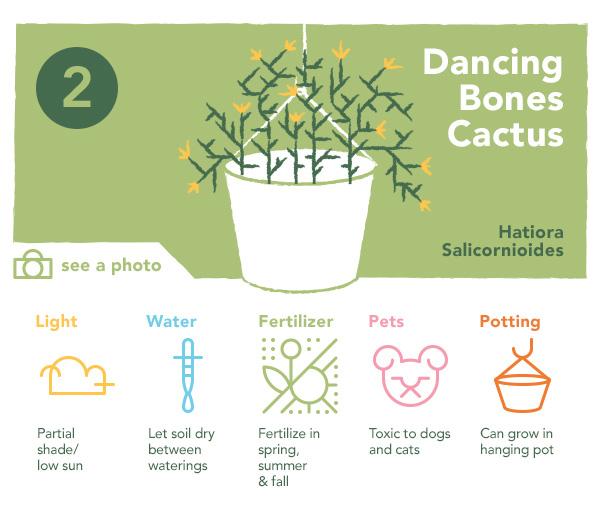 2. Dancing Bones Cactus