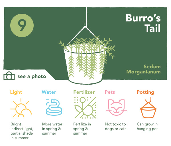 9. Burro's Tail