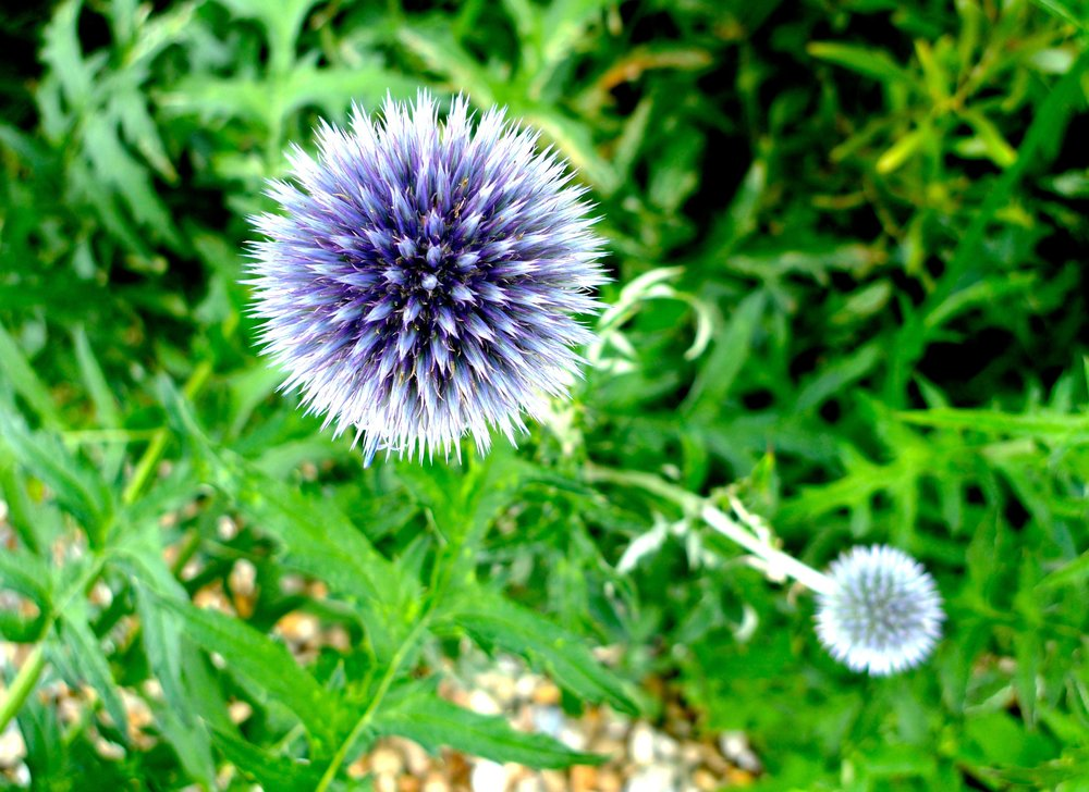 Looking down on a blue globe thistle