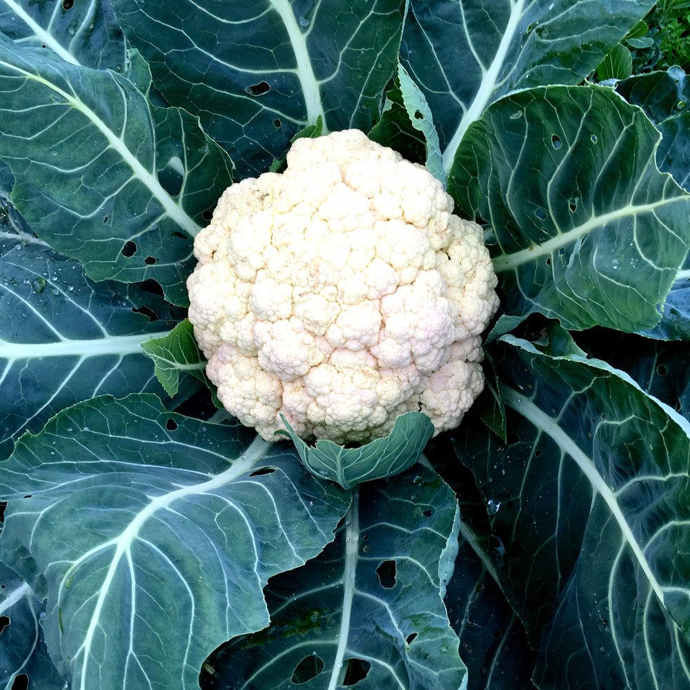 Our cauliflower has grown. And rather large too.