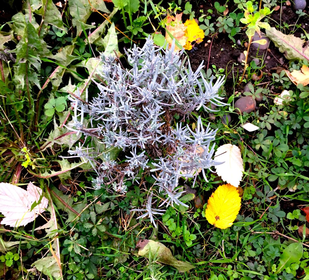 This lavender bush grew from a cutting