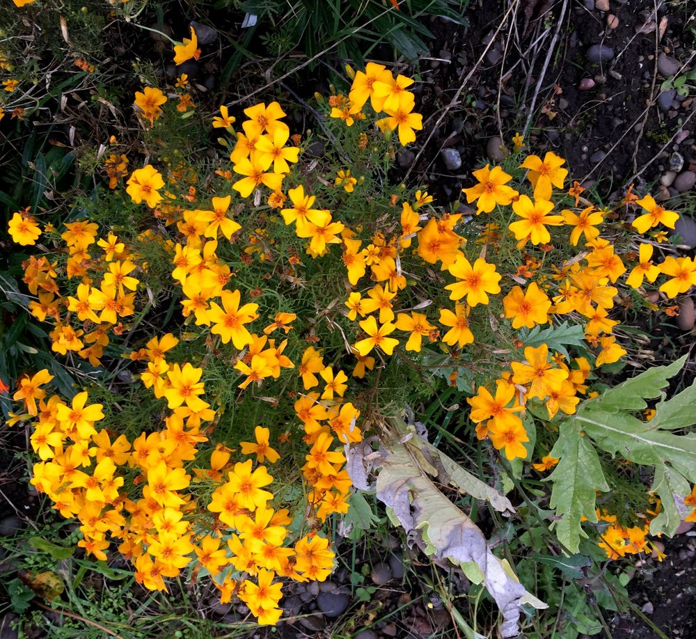 tagetes, grown from seed, are also thriving, much more so than any I've had in the garden