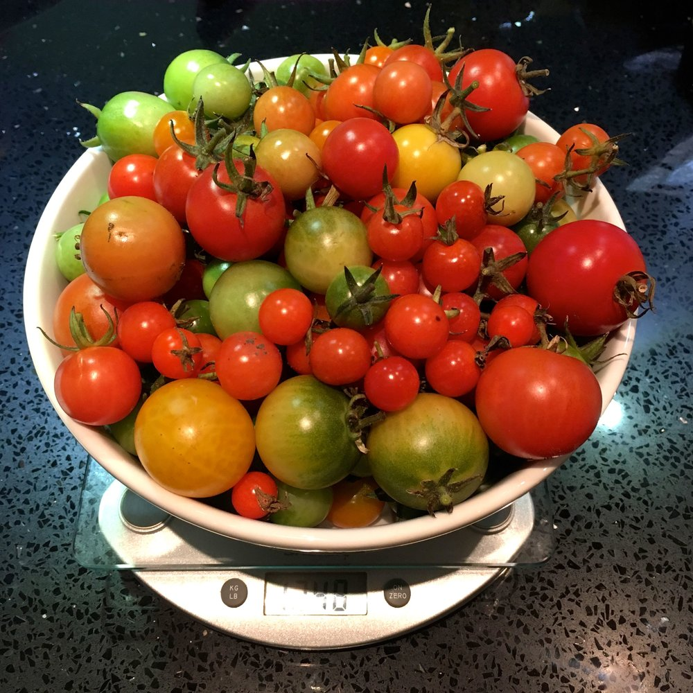 Picking over a kilo of tomatoes in November seems unheard of