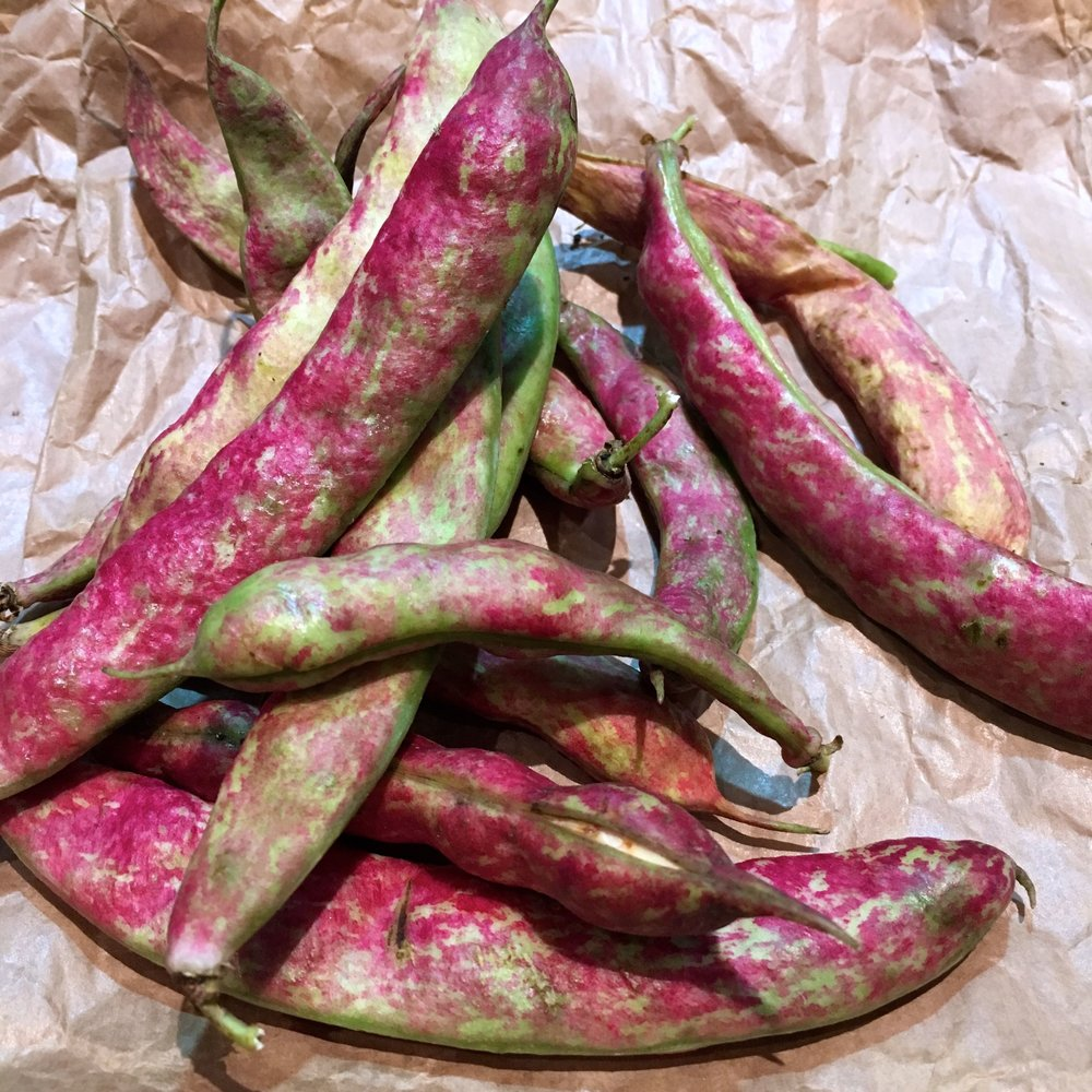 Borlotti beans - not bad results from an emergency second sowing