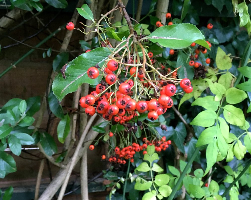 Admiring the pyracantha berries