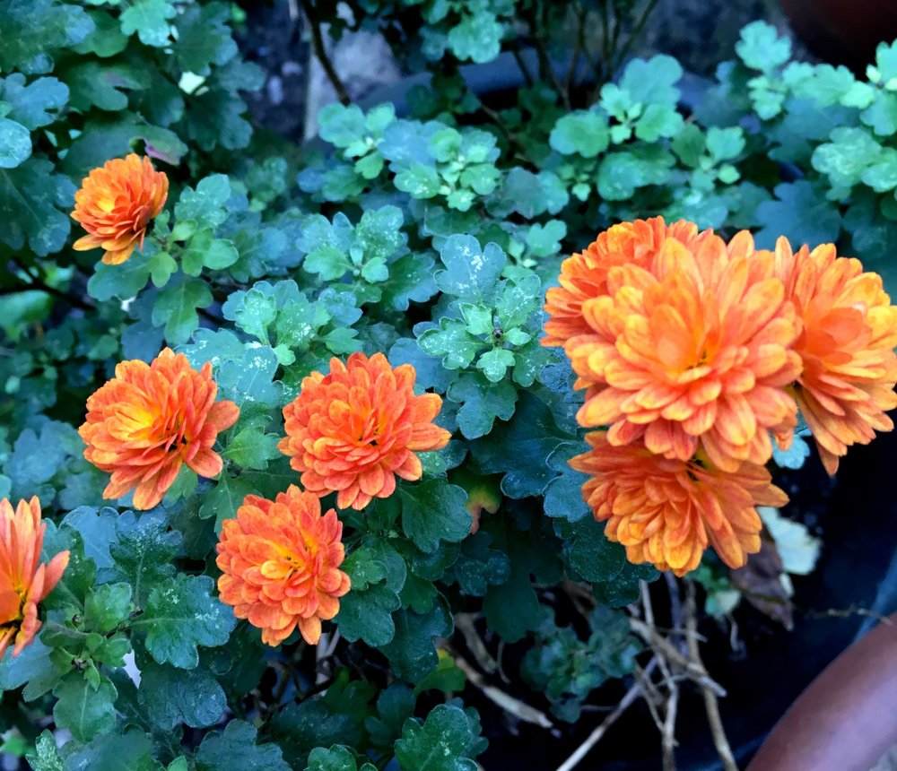 orange chrysanthemums are doing well.