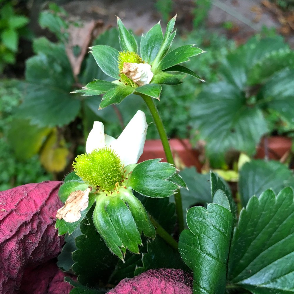 It's november so why are my strawberries flowering and fruiting