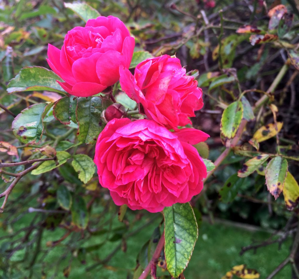 pink roses flowering in the front of dad's autumn garden