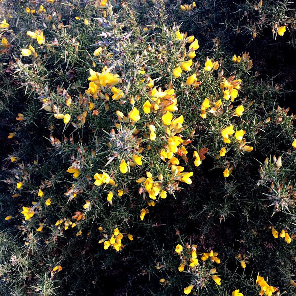A flowering gorse bush on barrow common in north norfolk