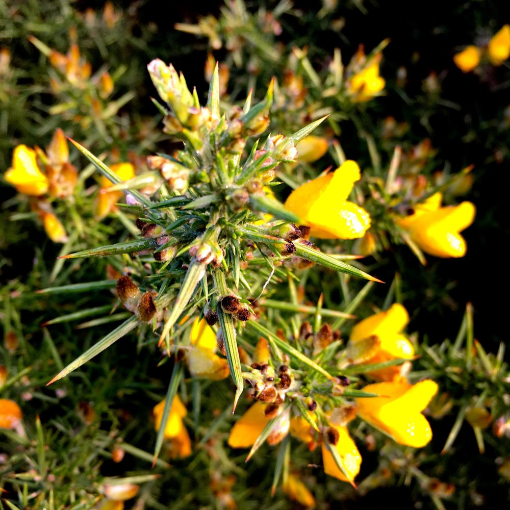 A close-up of a gorse bush on barrow common in north norfolk