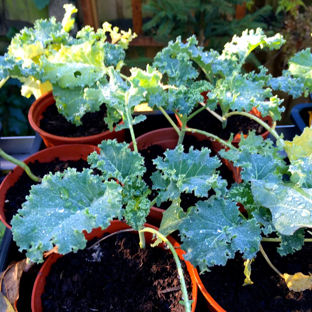 brassicas in pots, I really need to plant them out at the allotment