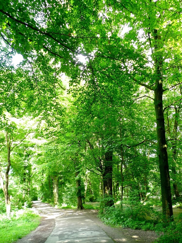 A tree lined path in Munich's large city park, the Englischer Garden