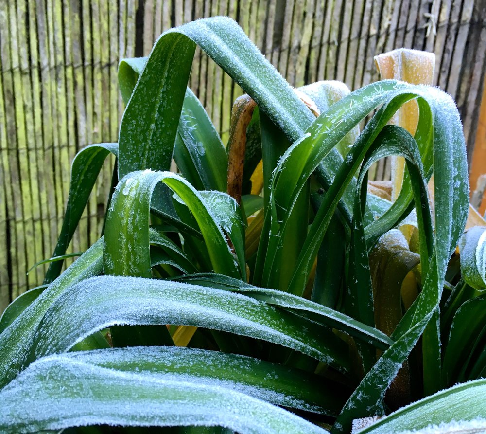 Agapanthus with frost