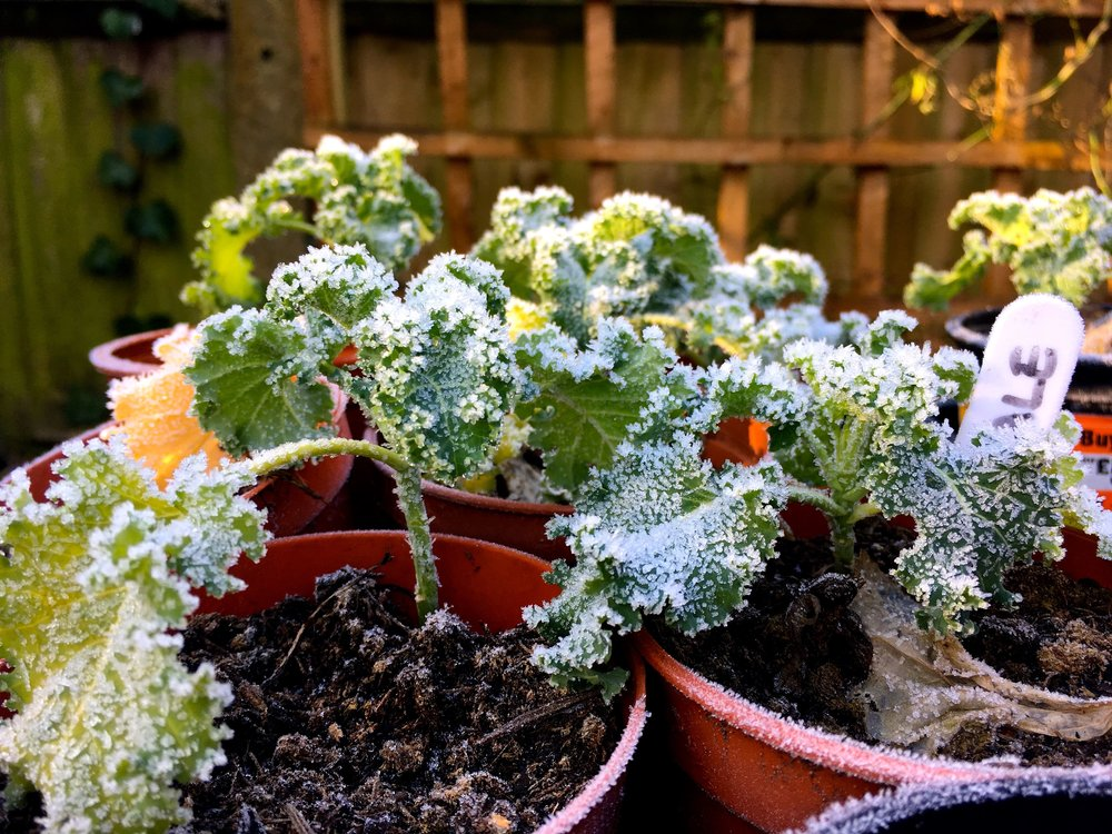 Frosted kale, which I've still not planted out
