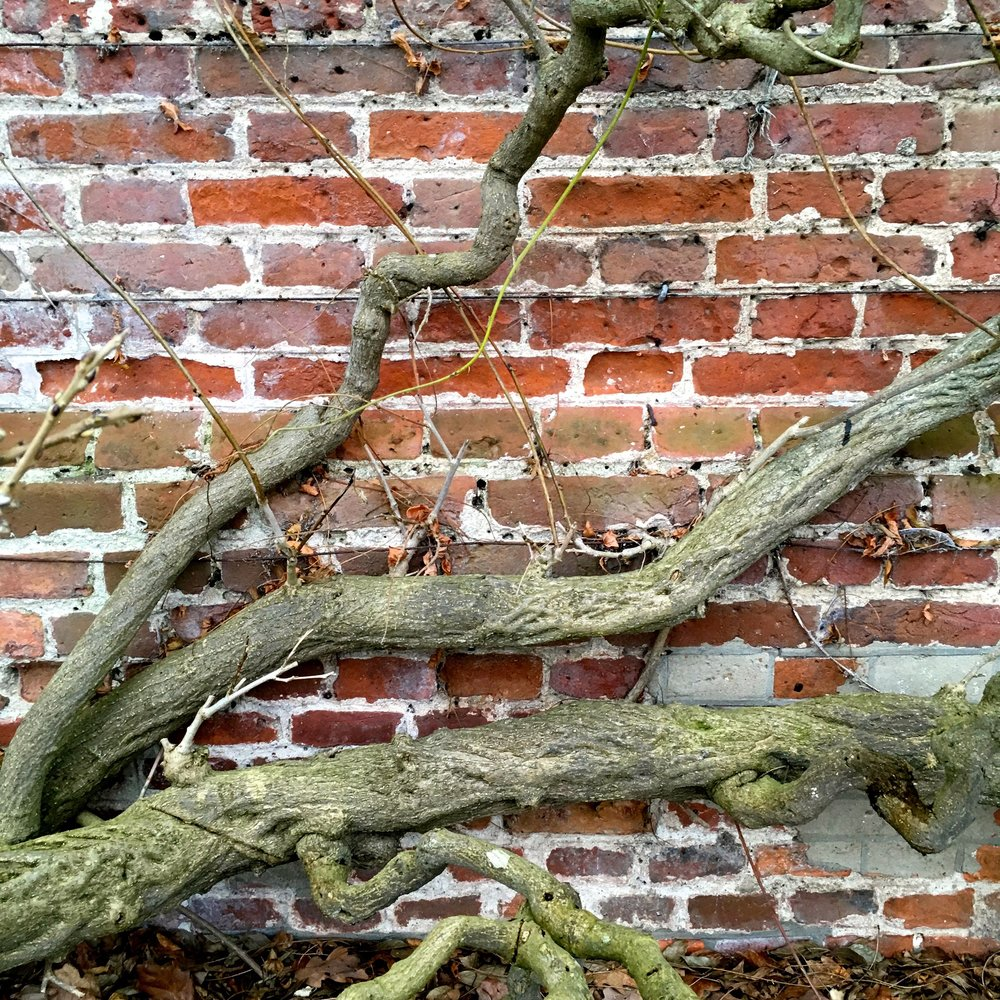 Gnarly old wisteria against the brickwork at Blickling Hall