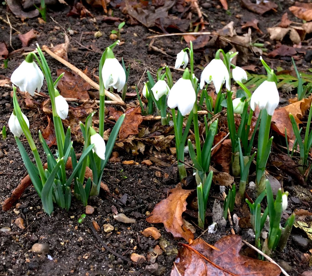 snowdrops at Blickling Estate in Norfolk