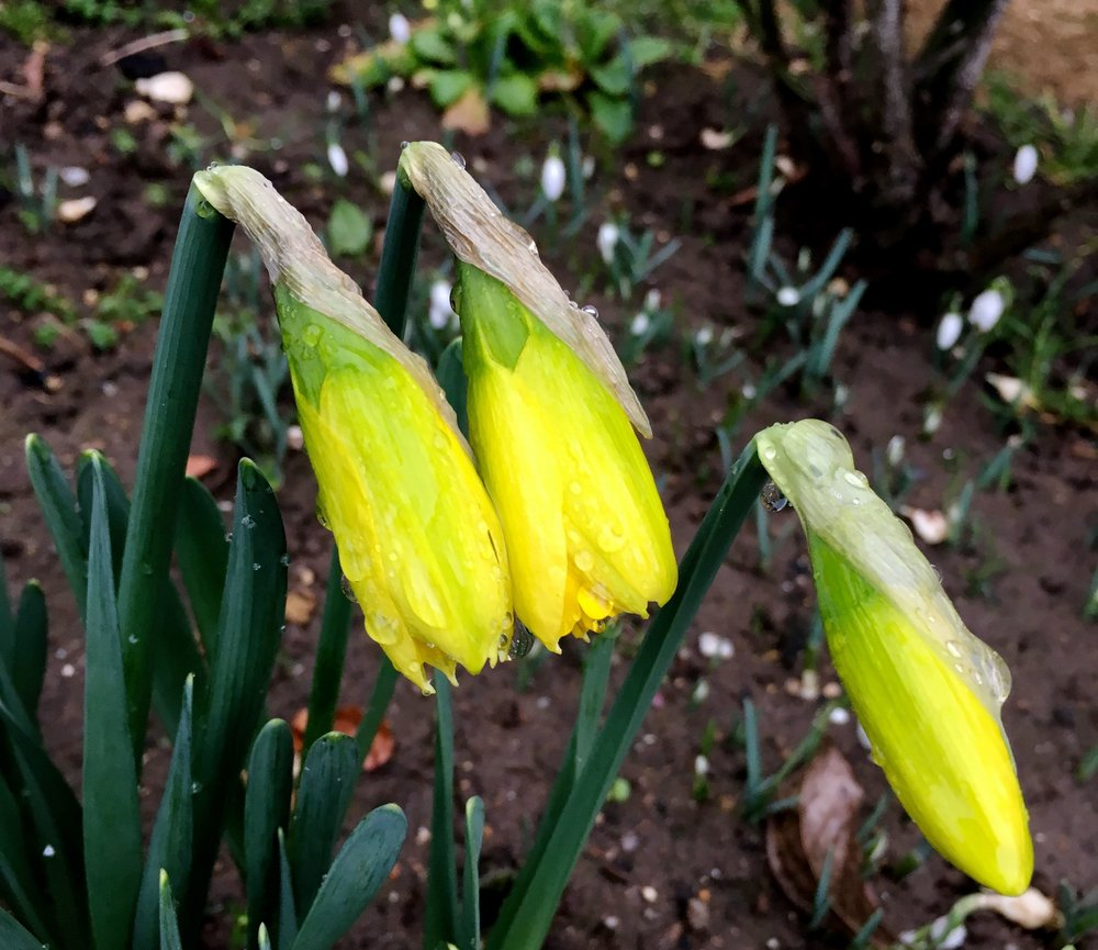In a sunnier part of the garden some daffodils are already close to flowering