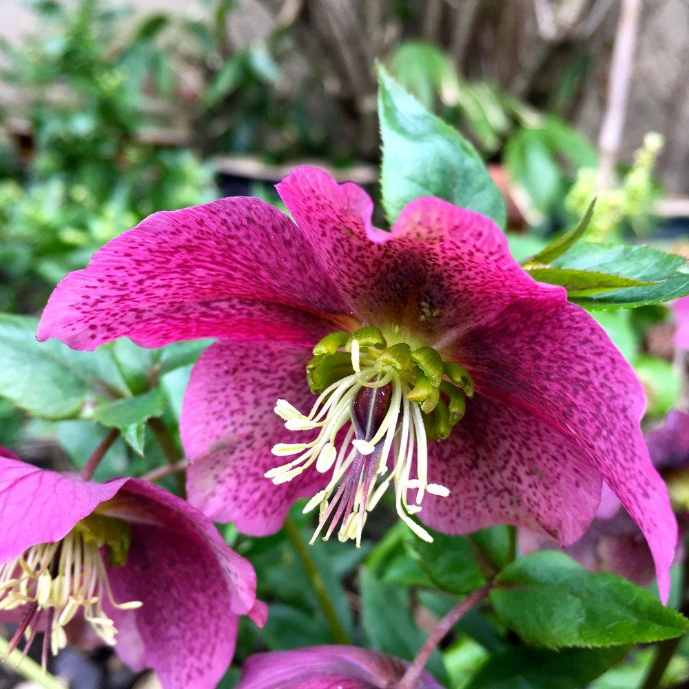 A shy but still beautiful hellebore in my garden