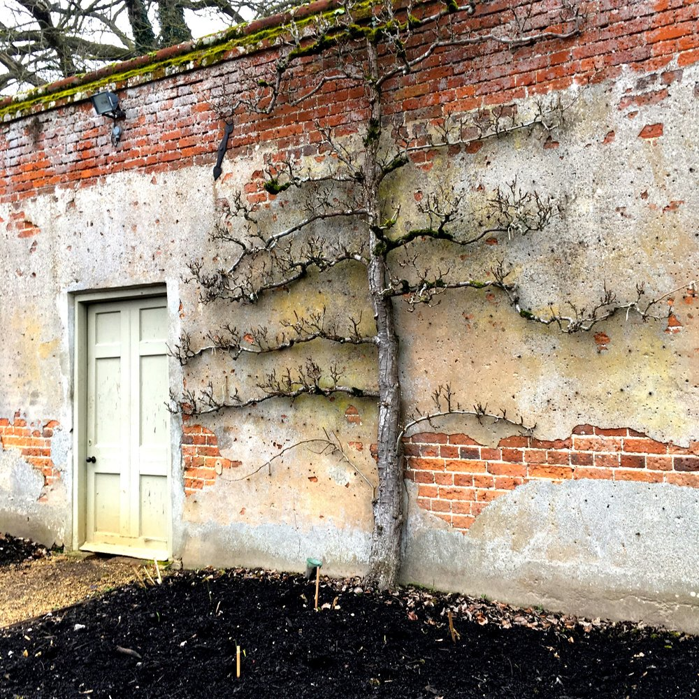 an espalier fruit tree at Blickling in Norfolk