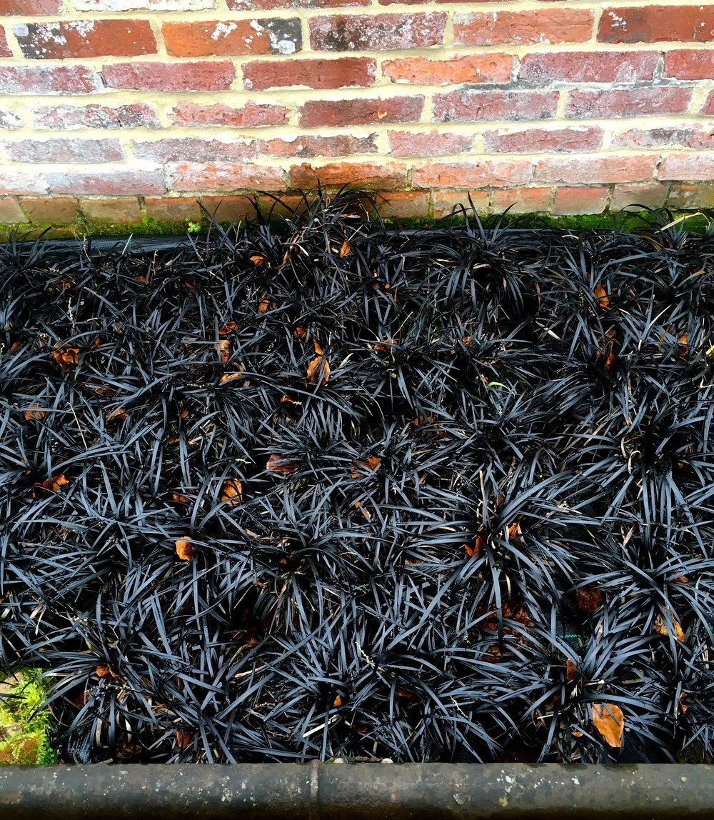 a nursery bed of black grass ready to plant out