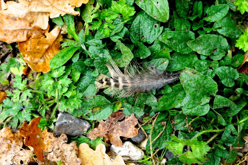 spotted - a feather in the yard at River Cottage HQ