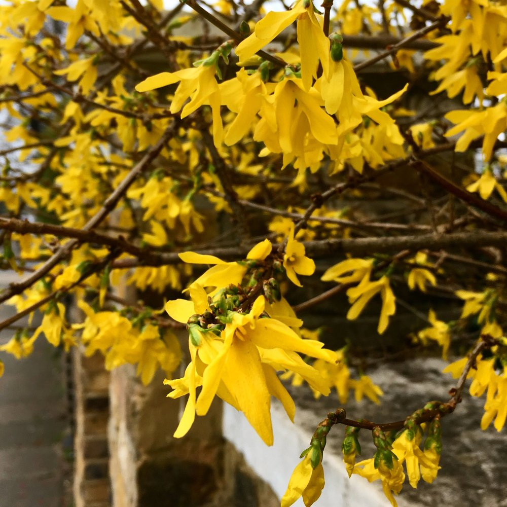 A stunning forsythia hedge in flower