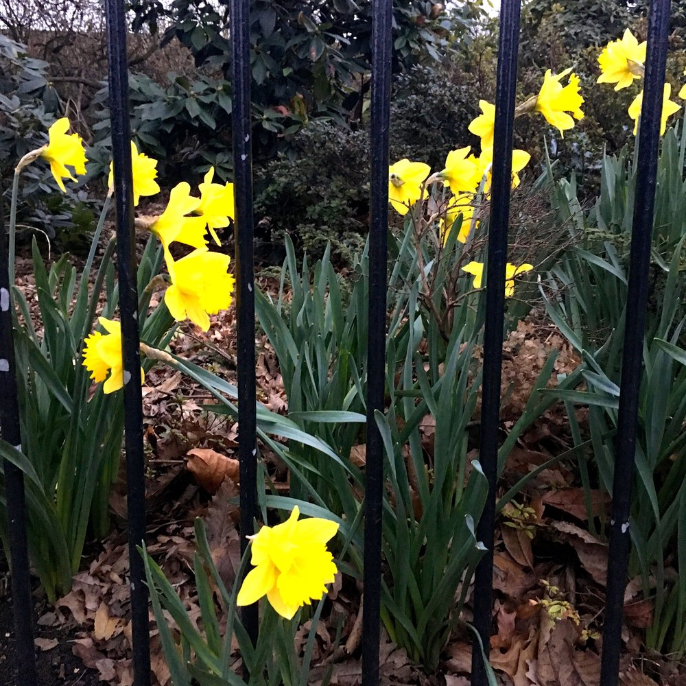 Spring favourites - daffodils - everywhere, these are behind railings rather than caged!