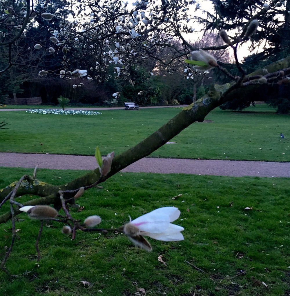 white magnolias which bloomed in the space of a week