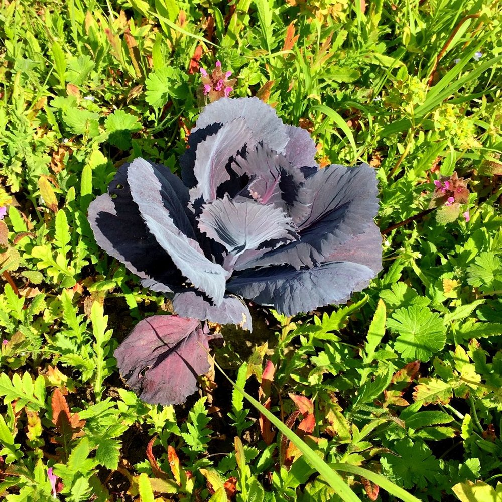 a red cabbage and weeds, or weeds and a red cabbage?