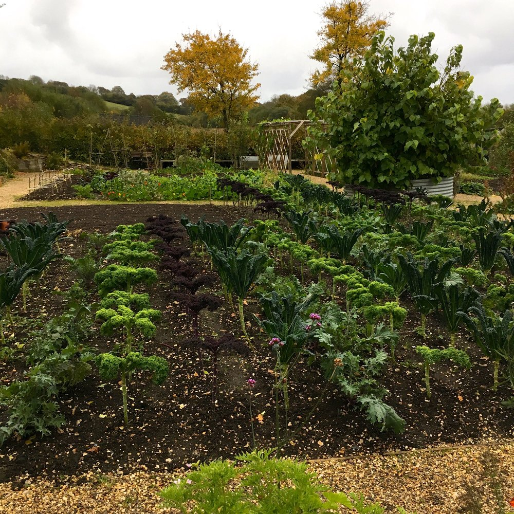 Rows of orderly kale and cavolo nero growing in rows at River Cottage HQ in Devon