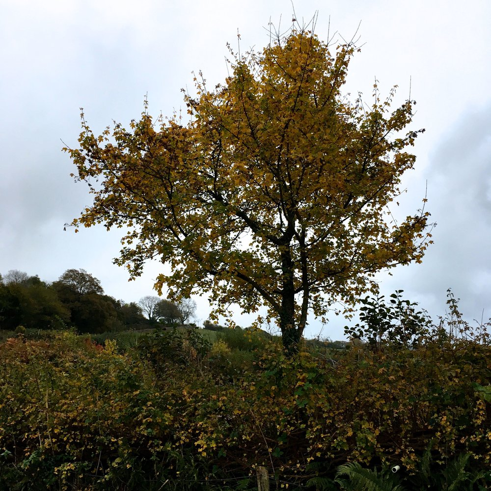 November, and one  of the trees' foiliage turning yellow