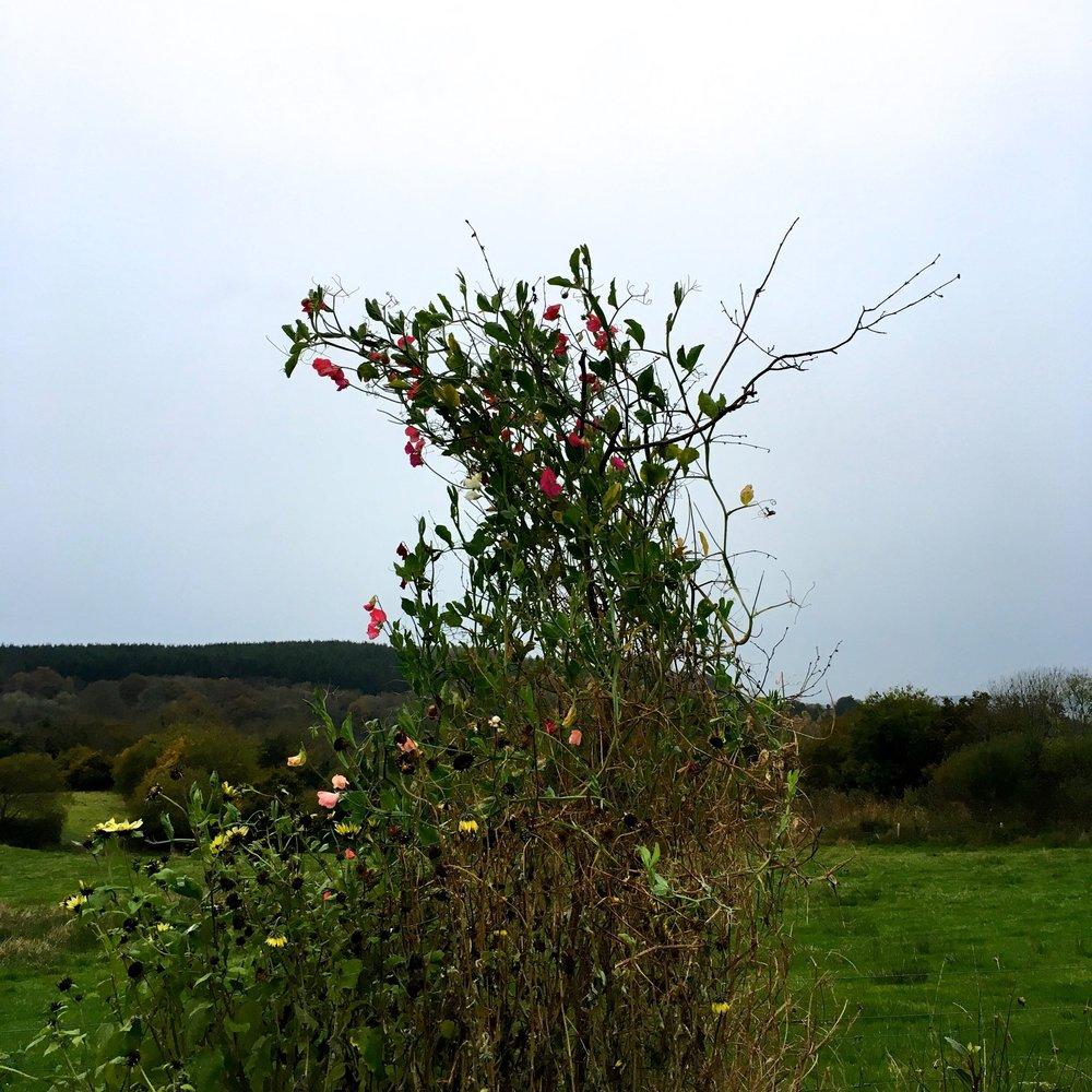Sweet peas still in flower at River Cottage HQ in November
